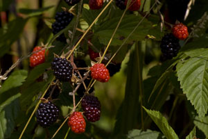 Wild Natural Blackberries on the hillsides of …just simply delicious