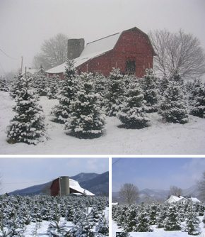Think Cool…  Christmas Tree Farms