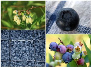 Blueberries on the Blue Ridge Parkway