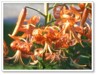 The Lily Patch – Spectacular June Color